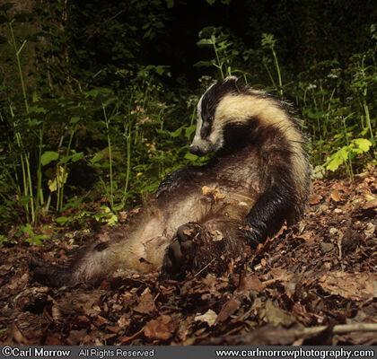 Badger having a scratch