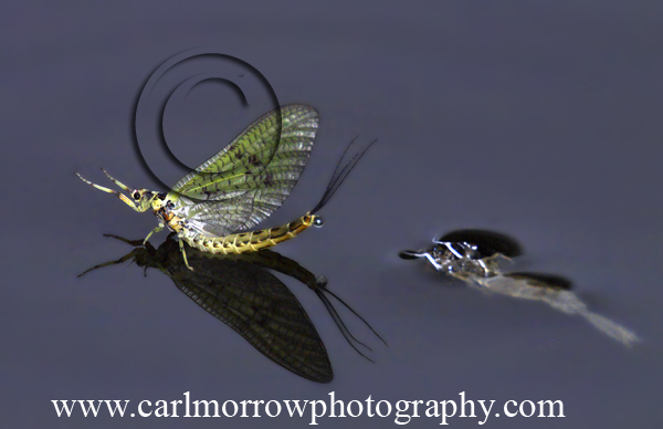 Mayfly, seconds after emerging from it's larval skin.