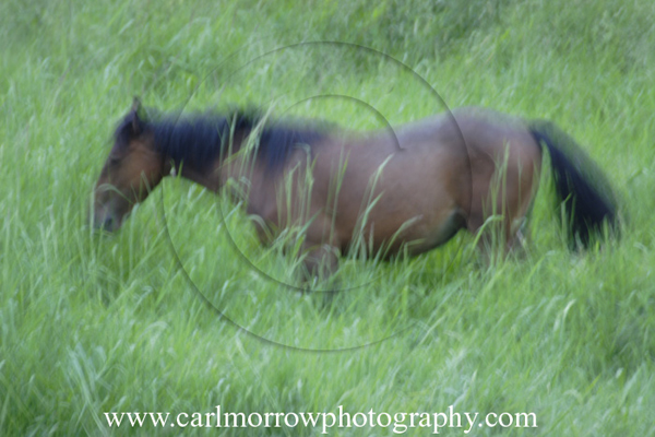 A brood mare wanders through a wind-tossed meadow