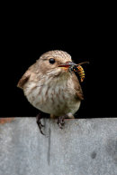Spotted Flycatcher with a wasp.