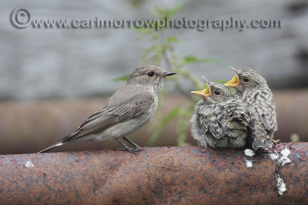 Spotted Flycatcher feeding chicks.