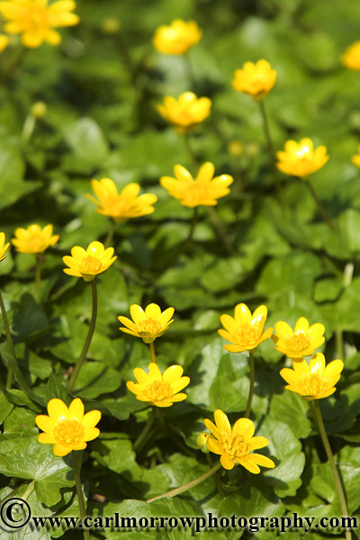 Lesser Celandine in bloom.