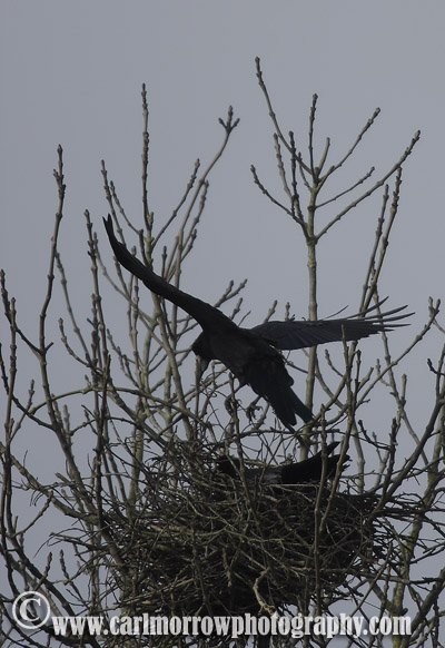 Rooks building their nest.
