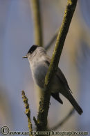 Blackcap. (male)