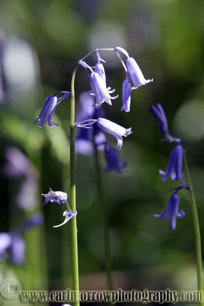 Bluebells.