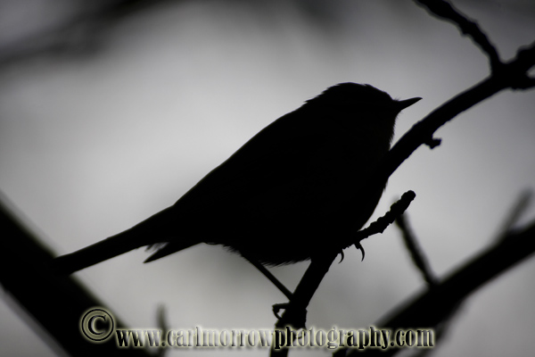 Willow Warbler silhouette