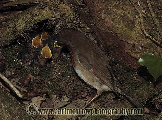 Robin feeding her young chicks