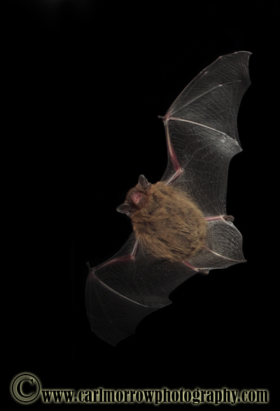 Pipistrelle Bat in flight.