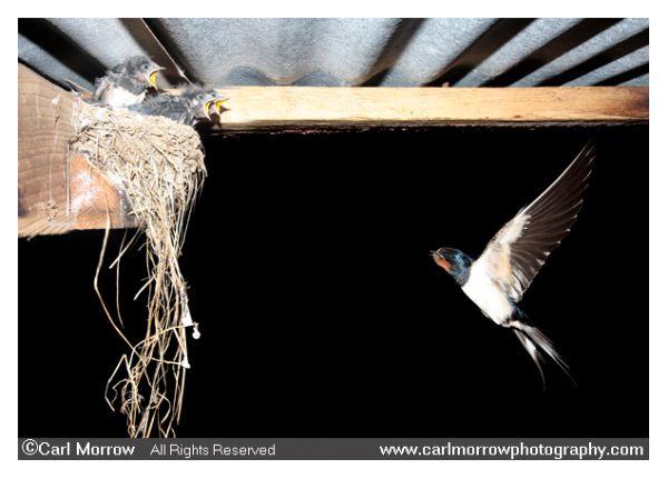 Barn Swallow approacing nest
