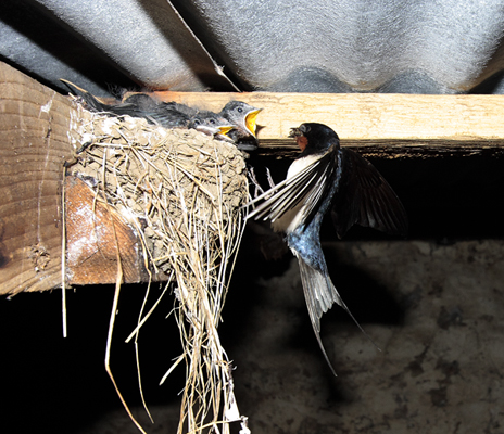 Swallow returning to the nest.