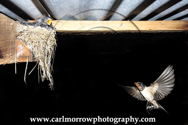 Swallow at the nest (under NPWS permit)