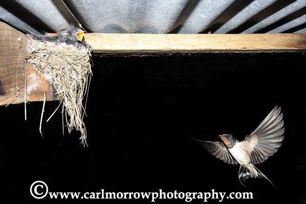 Swallow in flight with hungry chicks in the nest.
