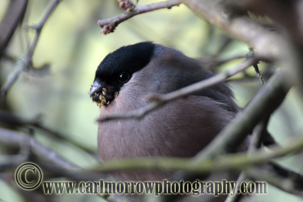 Bullfinch (female)