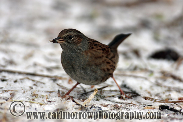 Dunnock or Hedge Sparrow