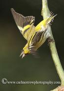 Siskin (male)