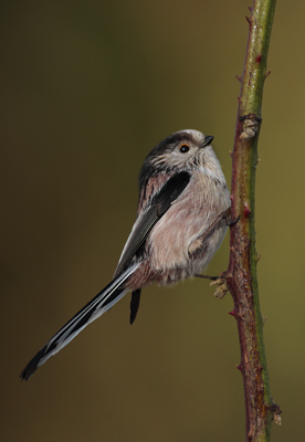 Lont Tailed Tit