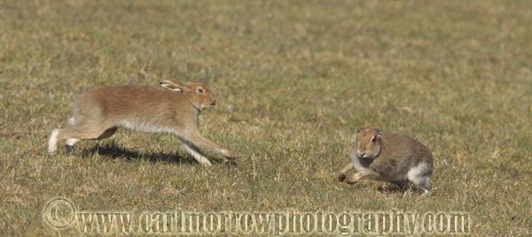Irish Hares