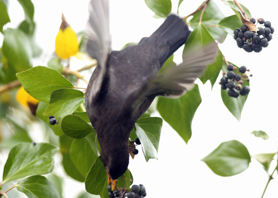 Blackbird feeding on Ivy berries.