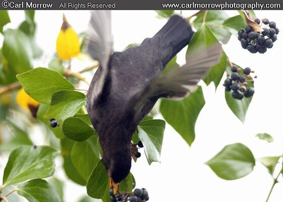 Blackbird feeding on Ivy berries.