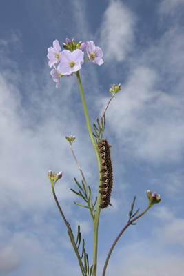 Drinker Moth Caterpillar on a Cuckoo Flower