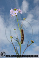 Caterpillar on a Cuckoo Flower