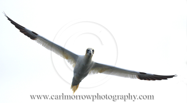 Gannet in flight.