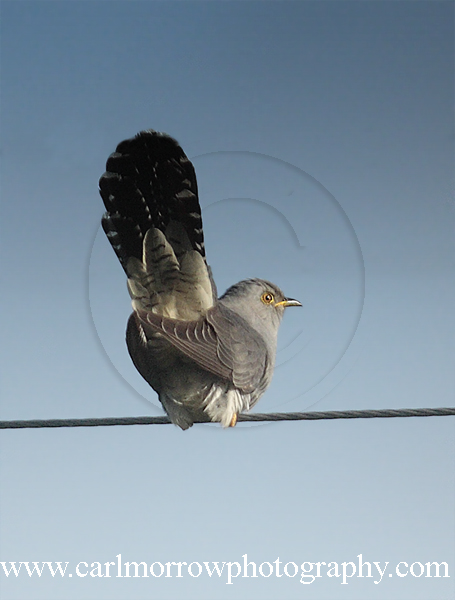 Cuckoo (male)