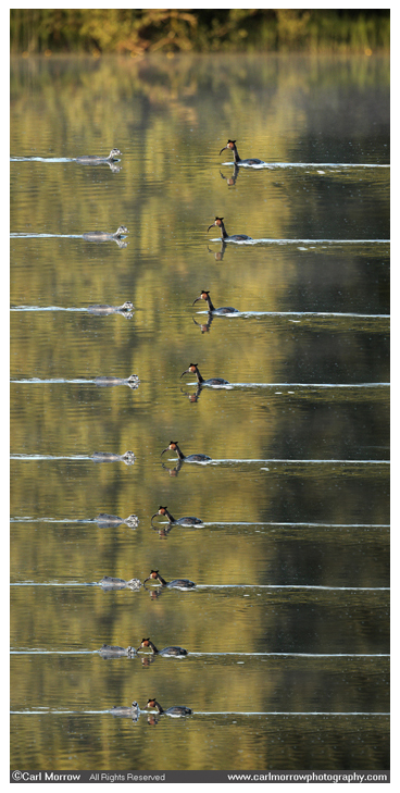 Grebe feeding chick sequence (multiple layer composition)