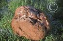 Puffball Fungus