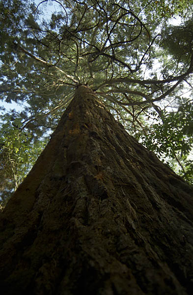 Upward view of Giant Redwood