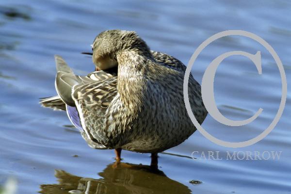 Mallard Duck preening
