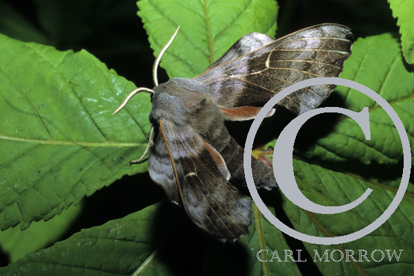 Poplar Hawk Moth