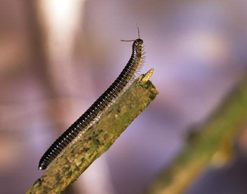 Black Snake Millipede
