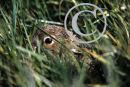 Irish Hare Leveret