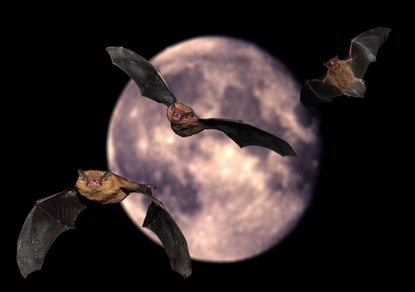 Pippistrelle Bats and full Moon