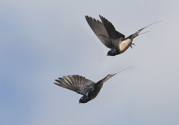 Swallows in flight.