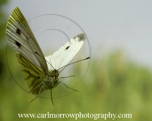Green Veined White Butterfly in flight.
