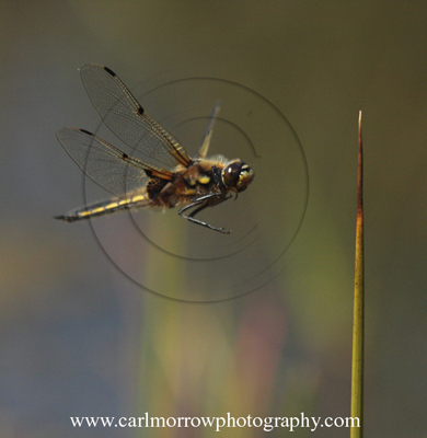 Four Spotted Chaser Dragonfly in flight.