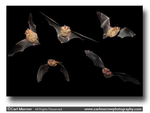 Pipistrelle Bats in flight. (5 layer composition)