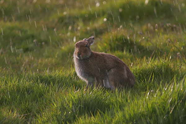 Irish Hare in the rain.
