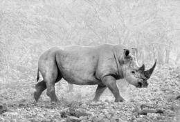 Black Rhinoceros, Etosha