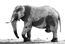 Elephant bull at the water hole, Etosha