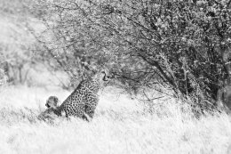 Cheetah with cub, Etosha