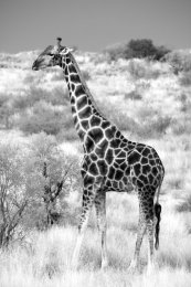 Giraffe posing, Kalahari Desert
