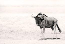 Blue Wildebeest, Etosha Pan