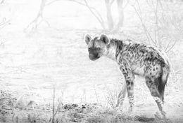 Shy Spotted Hyaena, Etosha