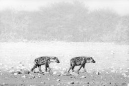 After the night hunt, tired Spotted Hyaenas, Etosha
