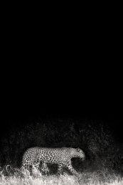 Leopard, Etosha