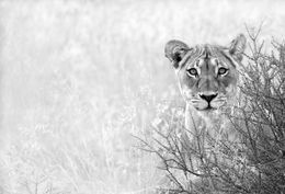 Lion female on the watch, Kalahari