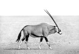 Oryx, Namib desert